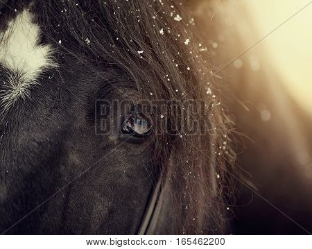 Eye of a sporting black horse in a bridle.