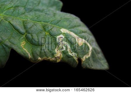 Macro Tomato leaf isolated on black background. Leaf miner. Plague of miner in tomato leaf.