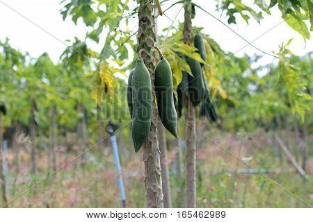 Papaya Gardening, Herb Fruit On Tree .   Selective Focus.