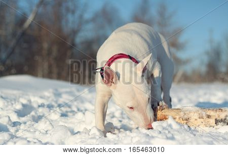 White English Bull Terrier play with a stick on nature