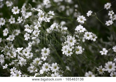 Cerastium plentifully blossoms small white flowers on silvery runaways.