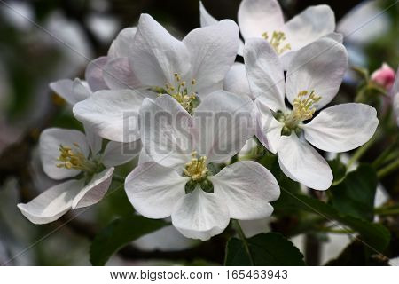 Group of large flowers of an apple tree with a pink pattern on white petals.