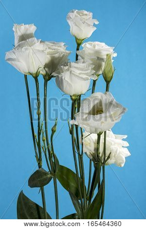 Eustoma bouquet of white on a blue background