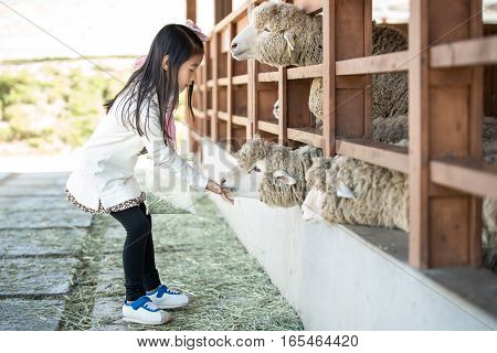 Happy Girl Feeding Sheep Ranch In South Korea