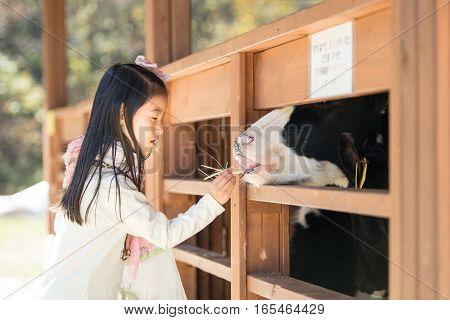 Happy Girl Feeding Calf Ranch In South Korea