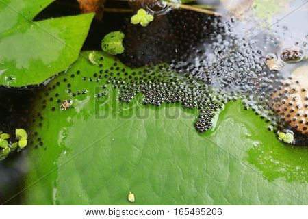 Frog eggs on lotus leafs in the pond