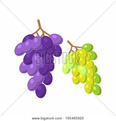 Bunches of grapes grow viticulture vector illustration. Green and blue nature food isolated juicy berry. Winery harvest natural purple agriculture nutrition.