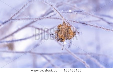 Beautiful frozen tree branch with dead leaves and ice crystals. Close up of withered tree twig in winter.