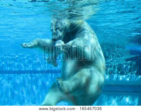 polar bear playing with toy in water and swimming