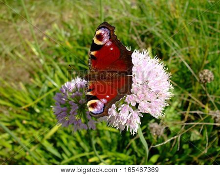 pictured butterfly peacock eye on the flower in spring
