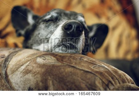 Shepherd dog sleep on the sofa in the house