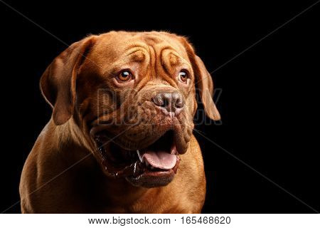 Close-up Portrait dog of breed Dogue de Bordeaux with opened mouth and amazement look isolated on black background, front view
