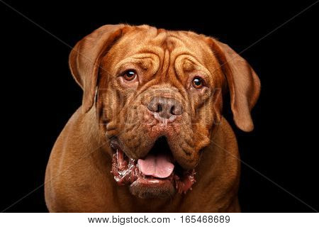Close-up Portrait dog of breed Dogue de Bordeaux with opened mouth and surprised look isolated on black background, front view