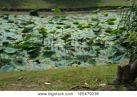 Lotus pond with sunlight by lily pads sprinkled in the pond