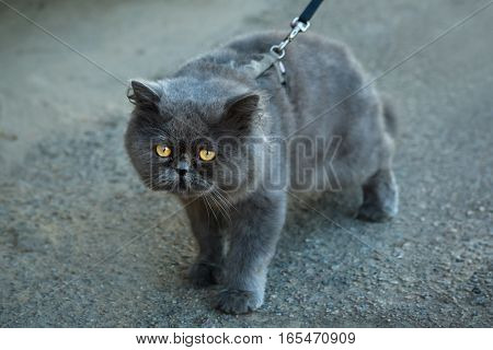 British Fold cat walks on a leash in the city.