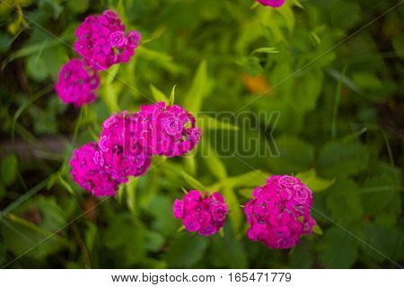 natural background with flowers of red carnations