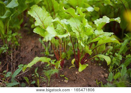 Fresh Beet Sprouts In Ground In Village