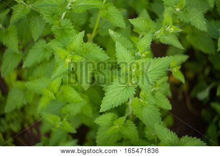 Fresh Green Catnip In Ground In Village