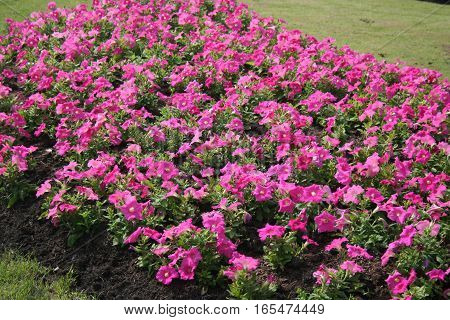 Lush pink flower beautiful in the garden