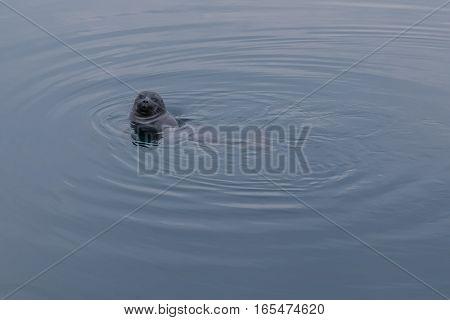 baikal seal peeking out of the water in natural environment looking at the camera