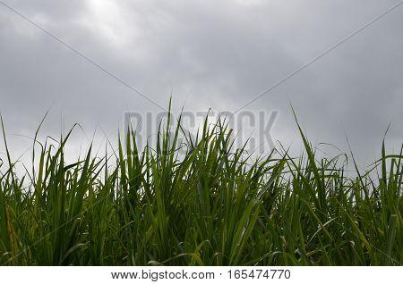 Sugar Cane Green Grass Clouds White Plants Field