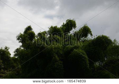 Great Bamboo Green Tropical Darl Clouds Huge