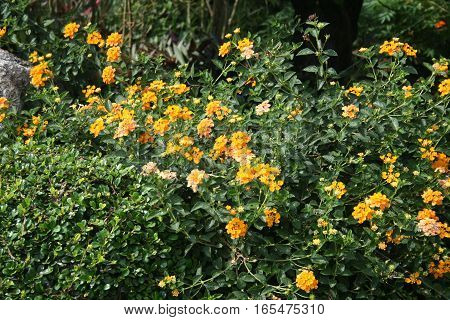 Flowers bright colors of Lantana Camara (Pha Ka Krong) with sunlight taken in Thailand
