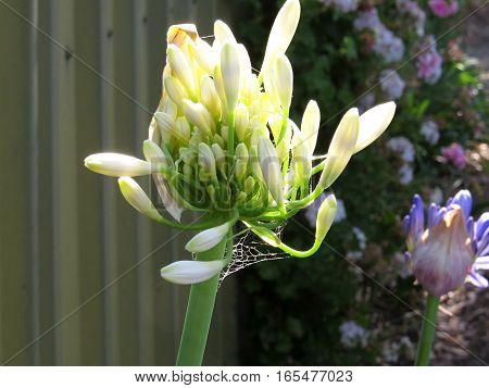 White agapanthus flower petals buds about to bloom open
