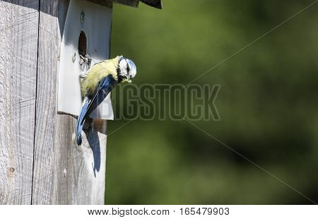 Blue tit by a wooden nesting box. Looks for spies. The plastic is for the woodpecker.