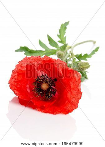 Single Red Poppy Lying On White Background