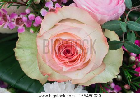 Pink rose close-up can use as wedding background