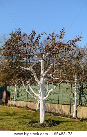 Lime paint protects fruit trees from frost damage - close-up