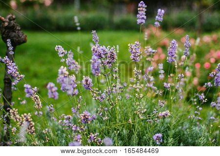 Beauty natural garden detali forest. Flowers lilac