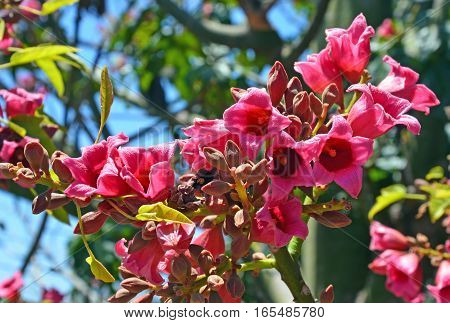 Pink flowers of the Kurrajong Bottle Tree, Brachychiton discolor, against a bright blue sky