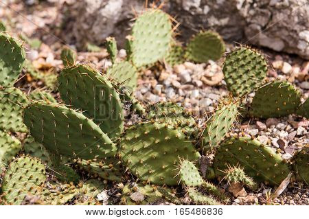 cactus in desert, cactus on rock, cactus Nature green background. domestic cactus closeup. cactus tree