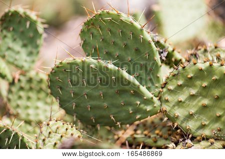 cactus in desert, cactus on rock, cactus Nature green background, domestic cactus closeup. cactus tree