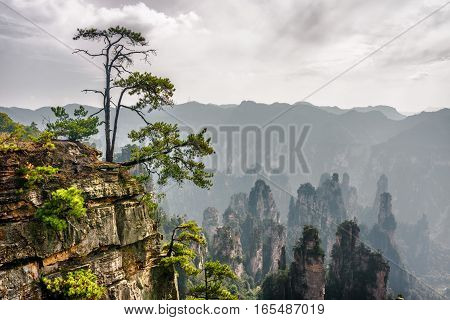 Green Tree Growing On Top Of Rock. The Tianzi Mountains