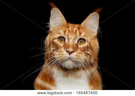 Close-up Head of Amazing Tabby Ginger with white Maine Coon Cat curious looks Isolated on Black Background, Front view