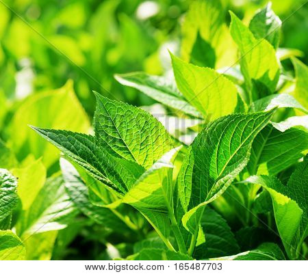 Fresh Green Leaves Glowing In Sunlight On Nature Background