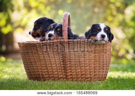 adorable bernese mountain dog puppies outdoors in summer