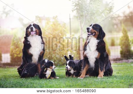 bernese mountain dogs family with puppies posing outdoors
