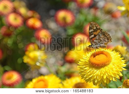 Australian Painted Lady Butterfly, Vanessa kershawi, on yellow Everlasting Daisy flower