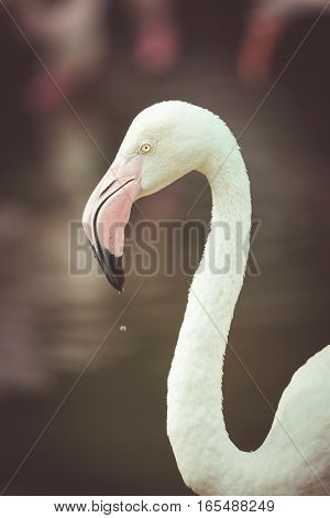 Close Up Of Pink Flamingo In Zoo , Vintage