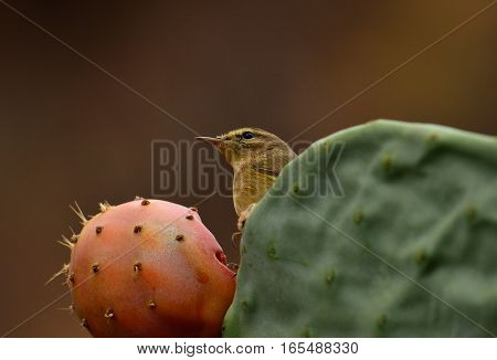 Small phylloscopus bird on cactus and ready to eat fresh prickly pear
