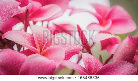 Pink Plumeria On The Plumeria Tree, Frangipani Tropical Flowers