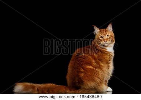 Amazing Tabby Ginger Maine Coon Cat Sitting with Furry Tail Isolated on Black Background, Side view