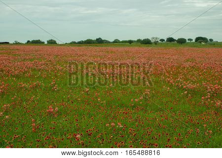 A field of Indian Paintbrush with rare white variety.