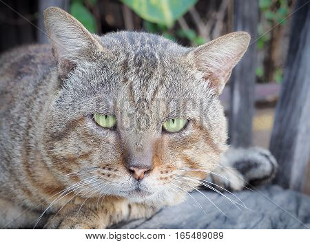 Portrait of an old domestic cat, Selective focus and close up