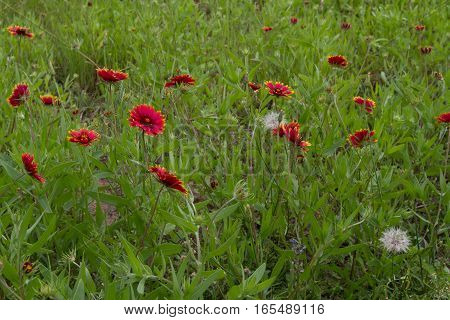 Field of indian blanket and dandelions growing together..