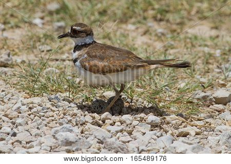 A killdeer on it's nest on the side of a county road.